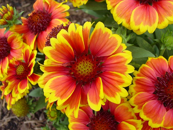 Perennials b1 flower season june sept flower orange red with yellow tips foliage green mightylinksfo